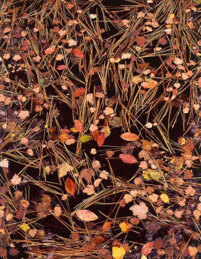 leaves and needles in a spring pond, Oregon, 1965
